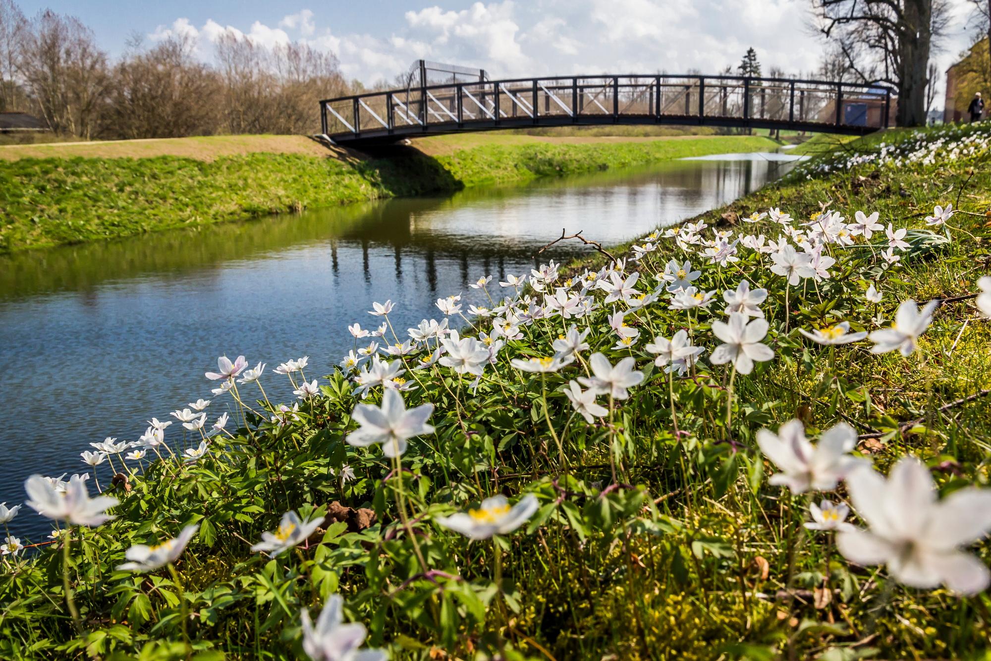 Schlosspark im Frühlingskleid – Buschwindröschen vor der neuen Brücke über den Wallgraben