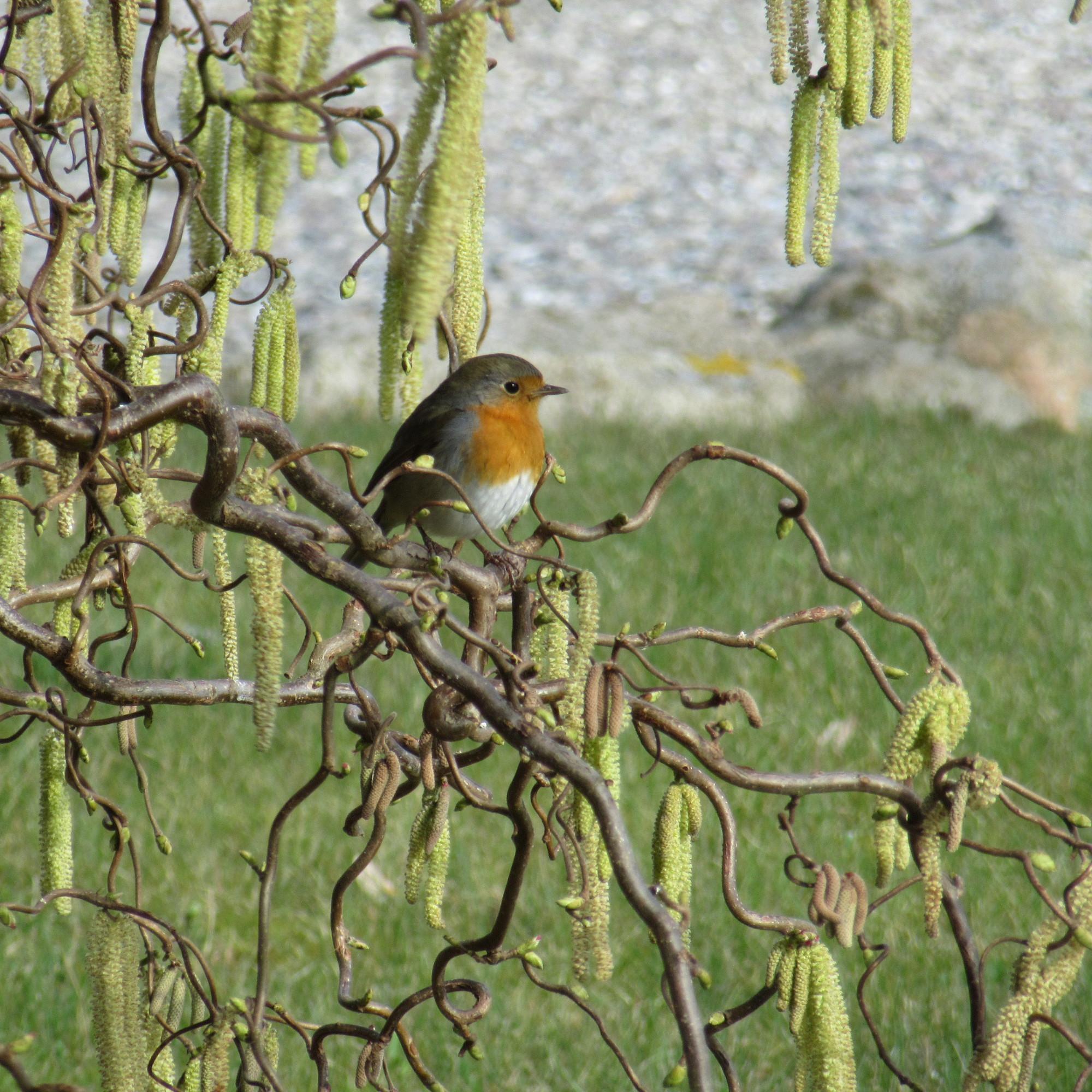 Auch das Rotkehlchen auf der Korkenzieherhaselnuss begrüßt den Frühling