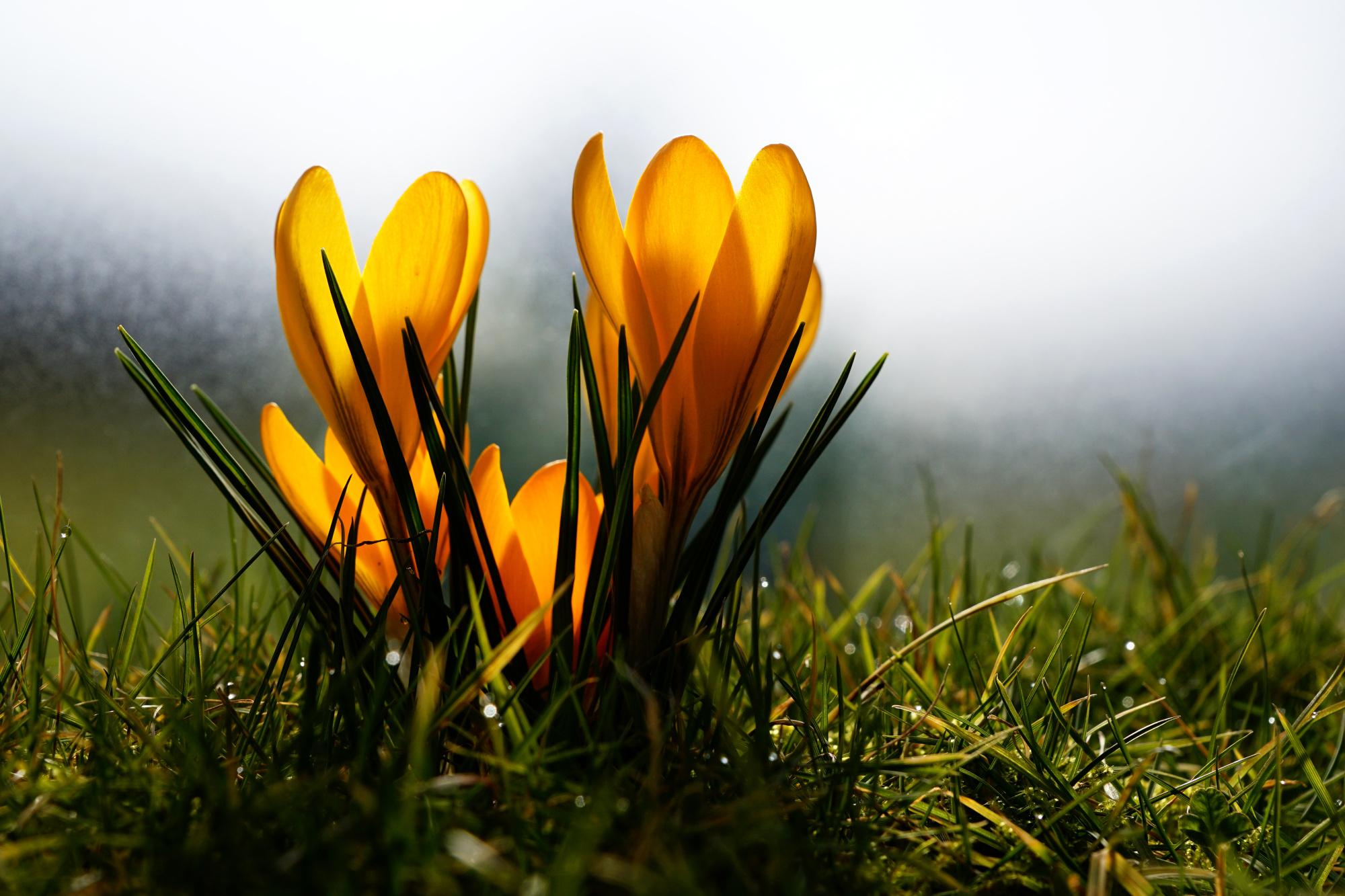 Krokusse in Niederklütz – Gelbe Farbtupfer im heimischen Garten