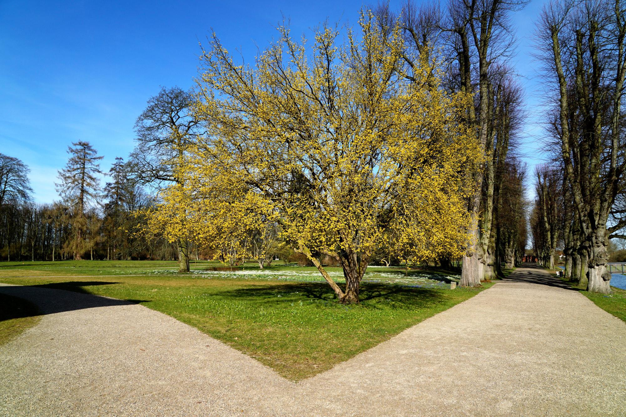 Blühende Cornelkirsche im Schlosspark – Hier macht Spazierengehen Spaß