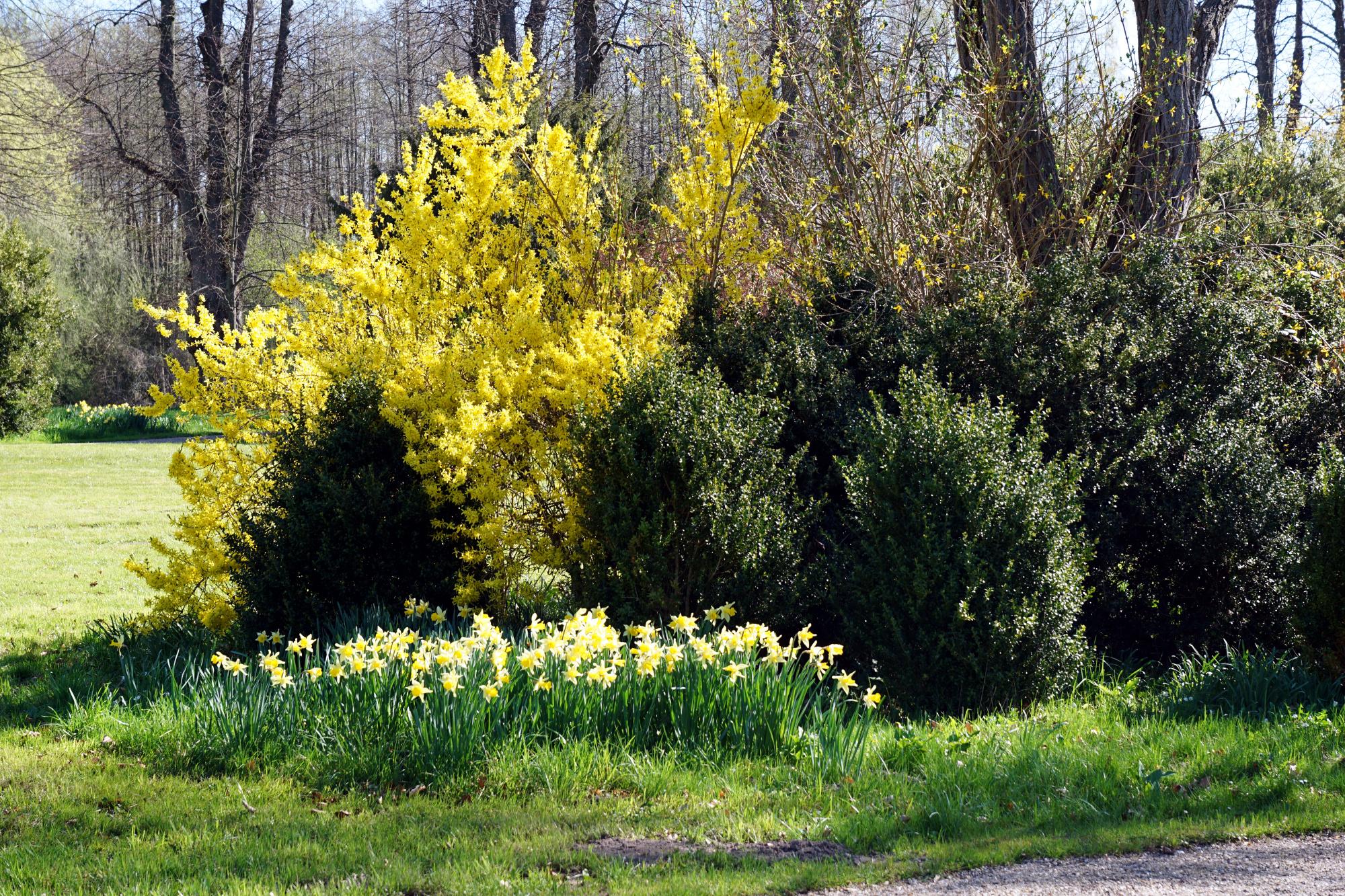 Prächtige Forsythie mit Narzissen im Park von Schloss Bothmer