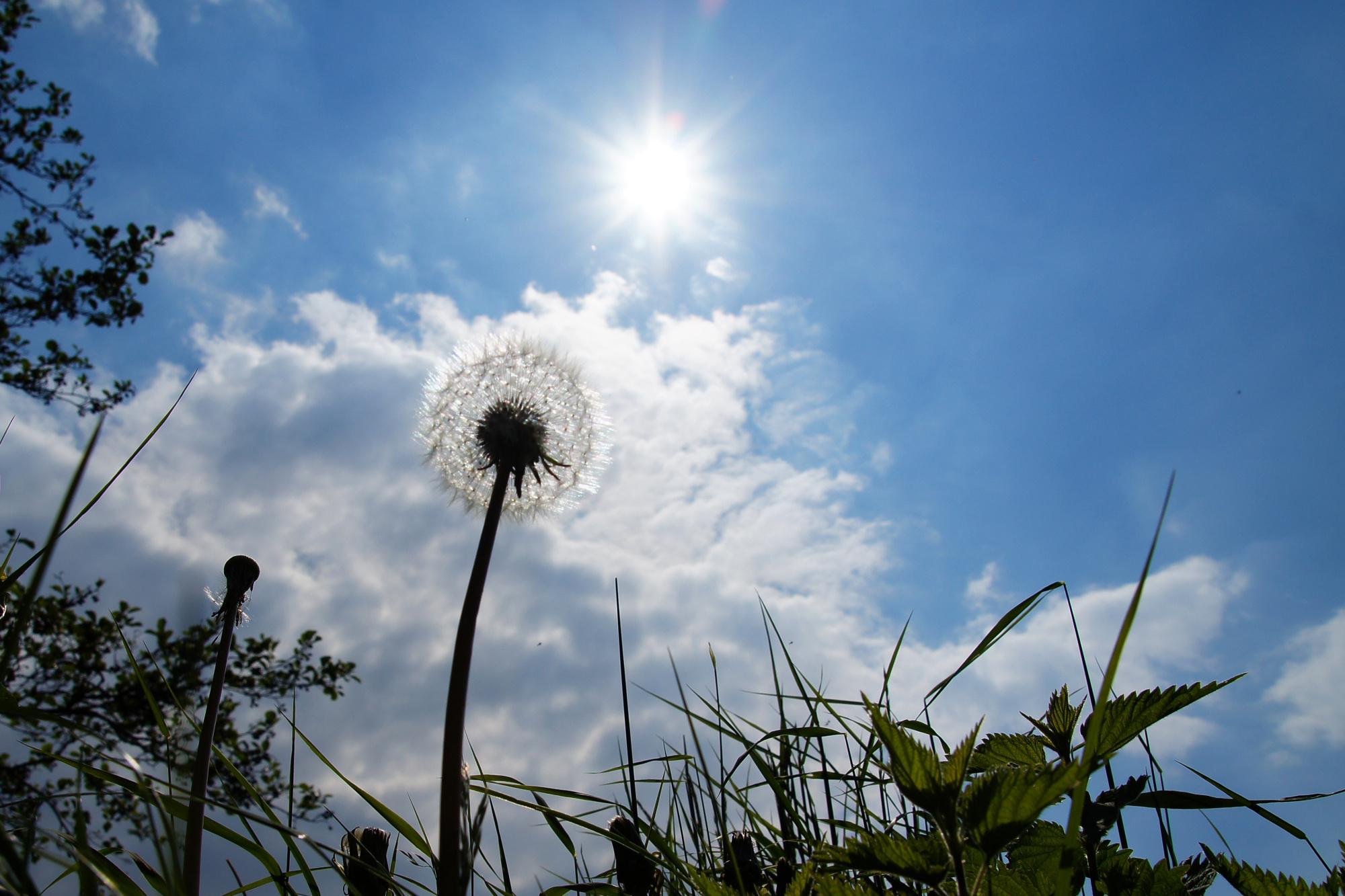 Pusteblume wächst in den Himmel in Niederklütz