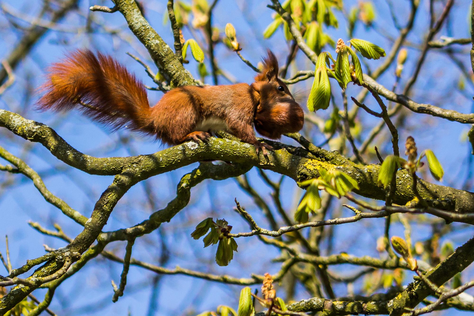 Harte Nuss! Eichhörnchen auf Futtersuche in der Schloßstraße