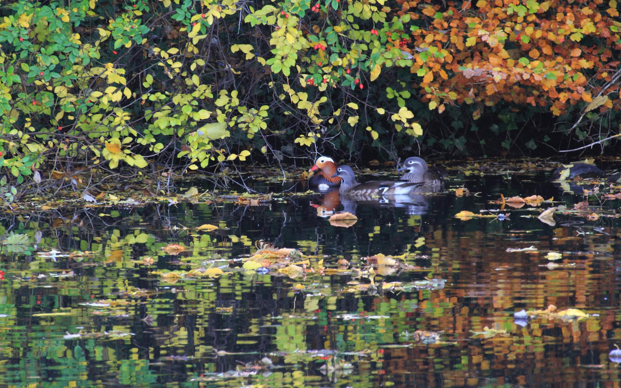 Bunte Enten im Teich